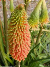 Red hot poker bloom at the Palo Alto Demo Garden