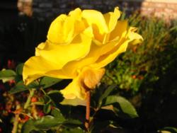 Midas Touch rose
