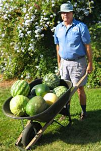 Watermelons in wheelbarrow