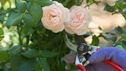 Rose Pruning, by Anne Skinner, UCCE Master Gardener