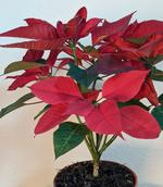 Potted Poinsettias by Donna Lee