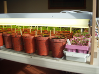 Tomato and pepper seedlings under adjustable-height fluorescent lights, by Laura Monczynski