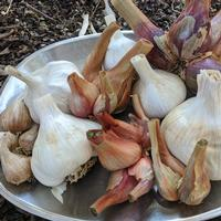Mixed-Garlic-Shallots
