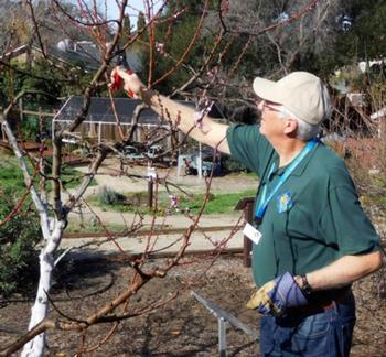 UC Master Gardener Norman Smith demonstrates winter fruit tree pruning in the Garden of the Seven Sisters. Photo credit: Jacqueline Shubitowski