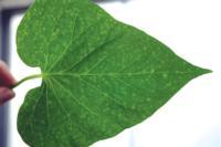 Sweetpotato leaf disease
