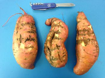 Russet crack symptoms on sweetpotato roots caused by SPFMV-RC