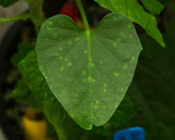 Chlorotic spots on sweetpotato leaves caused by SPFMV infection.