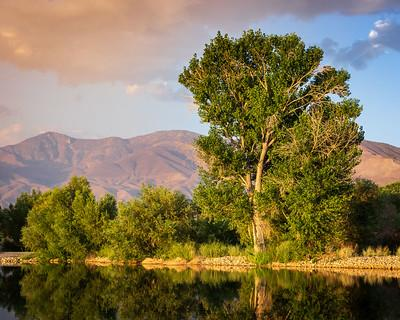 Cottonwood trees at the edge of a pond