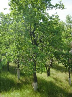 Blue Oak restoration research at the Sierra Foothill Research and Extension Center.