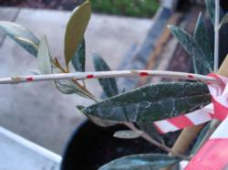 Fig.1. Exposed leaf scars, indicated by red marks