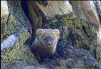 Young Fisher in a Den Tree, Forest Service photo