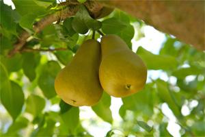 Bosc pears. source: www.calpear.com