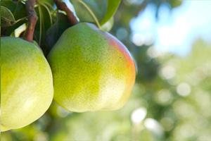 Comice pears. source: www.calpear.com