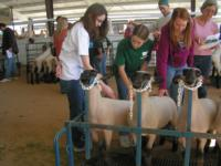 countywide sheep project
