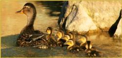 Ducks with border
