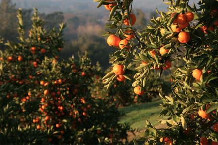 mandarin_orchard