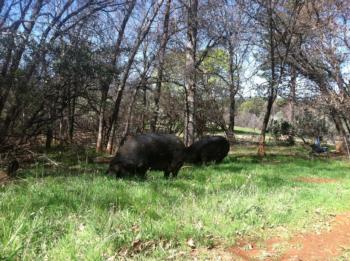 pasture pigs 2