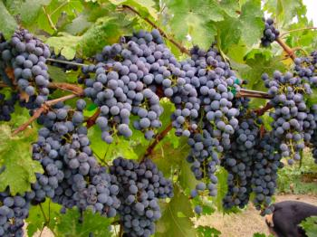 GB Vineyard-grapes