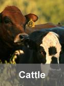 Cattle w-bar