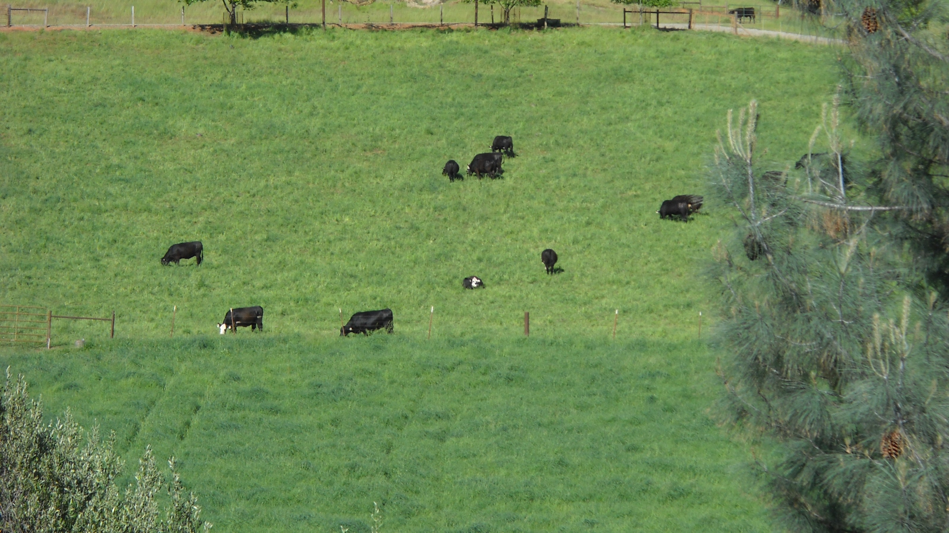 Cattle at Grazing Academy