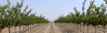 Pistachio 'blend' block in 2008, after cotton interplanting ceased. Photo by Louise Ferguson