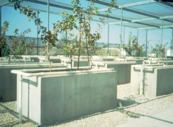 Pistachio rootstocks were screened for salinity tolerance in tank studies. Photo by Louise Ferguson