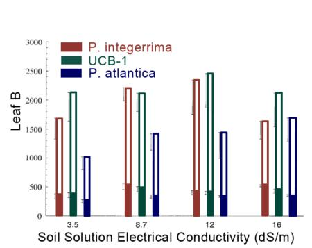 Figure 1. Boron in healthy (filled area of column) & injured (total length of column) leaves of scion on 3 rootstocks as influenced by salinity.