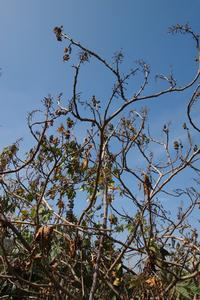 Shoot dieback symptoms on infected castor oil plant. Photo by Akif Eskalen (CISR)