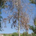 California sycamore with severe PSHB-associated branch dieback (Monica Dimson / UC Cooperative Extension)