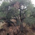 Branch dieback on PSHB-infested coast live oak (Akif Eskalen / UC Riverside)