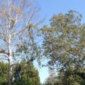 Healthy sycamore, right, and PSHB-infested sycamore with dieback, left (Akif Eskalen / UC Riverside)