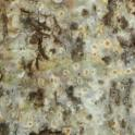 Dried, white/yellow staining on California sycamore from PSHB activity (Monica Dimson / UC Cooperative Extension)
