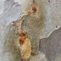Wet staining on California sycamore in response to PSHB attack (Monica Dimson / UC Cooperative Extension)