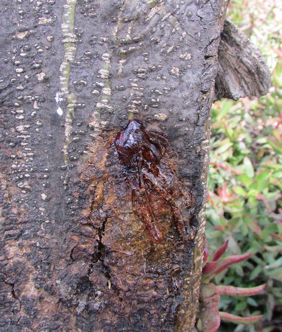 Acacia species respond to PSHB activity by gumming (Akif Eskalen / UC Cooperative Extension)