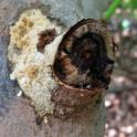 Broken avocado branch reveals PSHB galleries in the branch collar (Akif Eskalen / UC Riverside)
