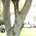 Staining on upper branches of Coast live oak due to PSHB activity (Monica Dimson / UC Cooperative Extension)
