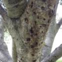 Staining from PSHB activity on Coast live oak (Monica Dimson / UC Cooperative Extension)