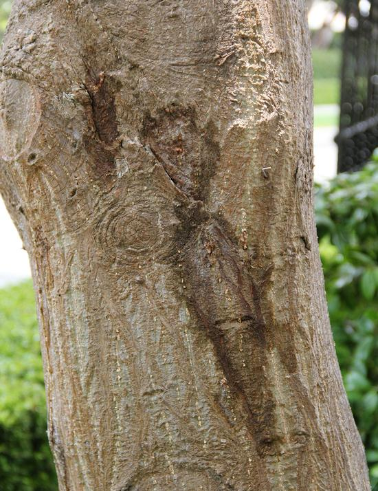 Staining on Coral tree due to PSHB activity (Monica Dimson / UC Cooperative Extension)