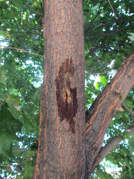 Staining caused by PSHB on English oak (Akif Eskalen / UC Riverside)