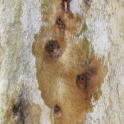 Symptoms of PSHB attack on London Plane (John Kabashima / UC Cooperative Extension)