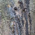 Gumming and staining on Moreton Bay chestnut (Akif Eskalen / UC Riverside)