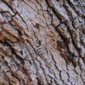 Staining and PSHB entry-holes on valley oak (John Kabashima / UC Cooperative Extension)