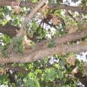 Staining from PSHB activity on a heavily infested valley oak branch (John Kabashima / UC Cooperative Extension)