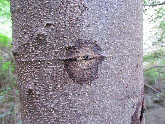 Staining and PSHB entry-hole on white alder (Akif Eskalen / UC Riverside)