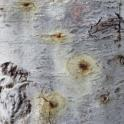 Dried stains and PSHB entry-holes on white alder (Monica Dimson / UC Cooperative Extension)