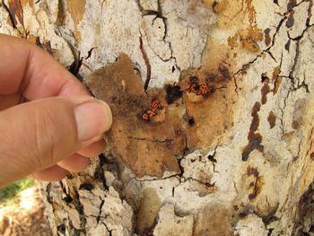 Rough bark and reddish frass produced by western sycamore borer (John Kabashima / UC Cooperative Extension)