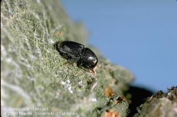 Native to Europe, Fruittree bark beetle has become common throughout most of the United States (Jack Kelly Clark / UC IPM)