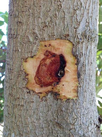 Discolored cavity beneath the bark of a tree infected with Xanthomonas campestris. Source: Akif Eskalen, UCANR
