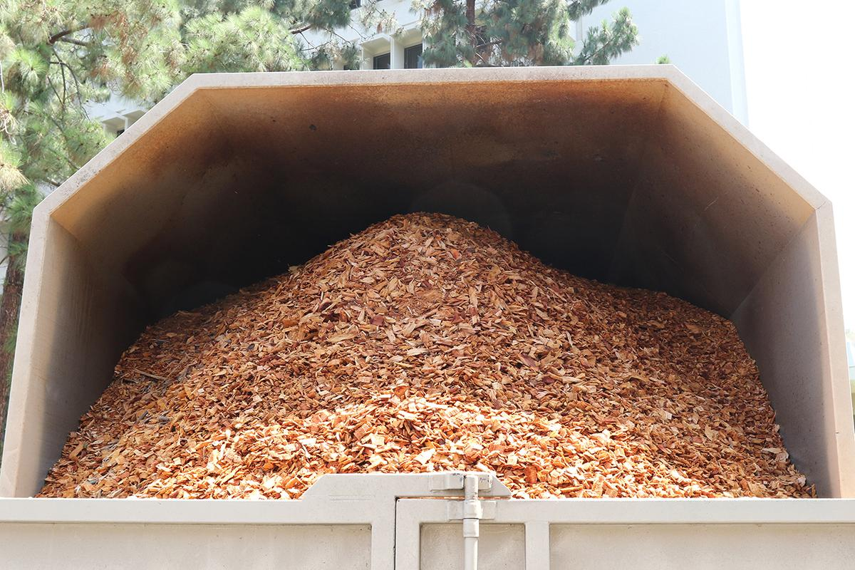 Wood chips from a PSHB-infested sycamore (John Kabashima / UC Cooperative Extension)