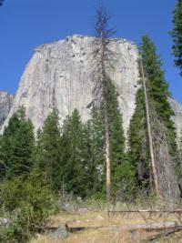 Root disease mortality center in Yosemite Valley
